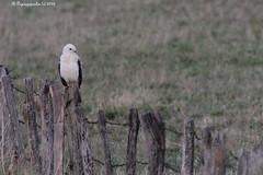 Buse HFF (BPBP42) Tags: animaux rapace oiseau fence barriere