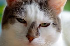 Portrait Nelli III (frankbehrens) Tags: katze katzen cat cats chat chats gato gatos explore