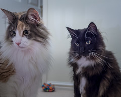 Rosie & Percy (Olympus OMD EM5II & mZuiko 17mm f1.8 Prime) (1 of 1) (markdbaynham) Tags: cat felines pet cute olympus omd em5 em5ii csc mirrorless evil mft m43 m43rd micro43 microfourthirds mz zd mzuiko zuikolic 17mm f18 prime