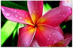 Single Bloom Macro (Legally Blonde7) Tags: plumeria pool pink rainbow hawaii macroplumeria favorites pregamesweepwinner nomedalfromanyotherchallengegroup pregameduelwinner theduelpregamesweepwinnersonly mollie sophie sienna