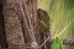 XSP_1309-Iguana (XavierShots.com) Tags: bird ave aves nature naturaleza animal animales animals nikon d7100 tamron 70300mm bokeh green verde iguana reptil
