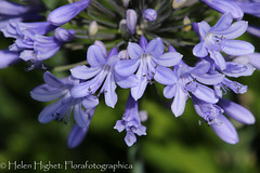 IMG_4305 (Florafotographica) Tags: luly 2016 agapanthus flowers savillgarden