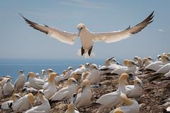Homecoming for the Gannet (Osprey-Ian) Tags: gannet canada quebec bonaventureisland perce