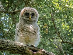 Barred Owl Juvenile (backyardzoo) Tags: barred bird chick owl