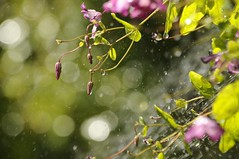 Summer Rain (FlorDeOro) Tags: nikon d300 photography nature flowers rain water sparkle glow bokeh colorful sun detail waterdrops rays blossom dof summer gotland mijarajc