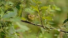 Still Here (J @BRX) Tags: adeldam yorkshirewildlifetrust goldenacrepark bramhope leeds yorkshire england uk august2016 summer bird green willowwarbler warbler