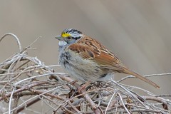 White-throated Sparrow (Henrietta Oke [On/Off] busy) Tags: songbird bird sparrow whitethroatedsparrow feathers wings nature wildlife ontario bokeh nikon nikon5300