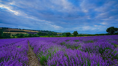 Sea of purple (TanzPanorama) Tags: nature lavender dusk england kent shoreham castlefarm lullingstone tanzpanorama sonya7ii ilce7m2 sony fe1635mmf4zaoss sel1635z purple blue cloud scenery countryside sky rural