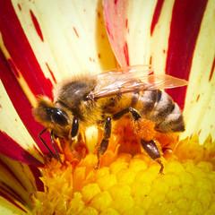 Bee-1 (kristin.mockenhaupt) Tags: nature natur wiese meadow frhling sommer summer spring springtime flower blume dahlie dahlia makro macro biene bee