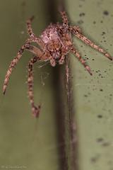 Lariniodes sclopetarius (Gregor Seidlhofer) Tags: spider macro canoneos70d 5 austria vienna
