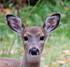 Too Cute!!! (Oma Darling Photography) Tags: whitetail deer october wildlife washingtonstate autumn
