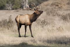 A Bull Elk Bugling (Patricia Ware) Tags: california canon cervuscanadensisroosevelti ef400mmf56lusm fullframe orick rooseveltelk httppwarezenfoliocom 2016patriciawareallrightsreserved unitedstates us specanimal