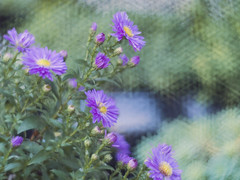 Daisy Daisy [41/52] (Jam-Gloom) Tags: olympusuk olympusomdem5 olympusomd olympus omd em5 petzval85mm petzval 85mm petzvallens petzval85mmlens 85mmpetzvallens lomography lomo lomoartlens lomographyartlens lomographypetzval85mmlens lomographyxzenitpetzval85mmlens zenit lomographyxzenit lomographyxzenitpetzval brasslens brass floral flower flowers floralphotography flowerphotography purpleflower purpleflowers depthoffield bokeh bokehlicious bokehful plant project52 52weeks 52weekproject 52 project week weeks week41 41 85 daisy daisies aster asters