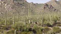 Saguaro National Park AZ USA (David P James) Tags: saguaro