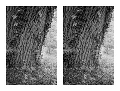 Deep Bark (BHuij) Tags: 135 35mm 52 bw black byu camera campus cascade film hc110 hp5 ilford monochrome nature olympus omg photography project s3d slr springs stereo stereography stereophotography system utah white zone
