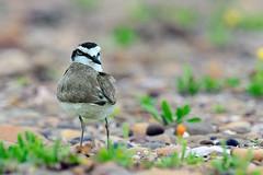 DSC_9917 (Sing life searching........) Tags: bird birds wide