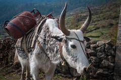 12042015-DSC_7823.jpg (seb.grd) Tags: nepal vacances np npal langtang centralregion syaprubesi
