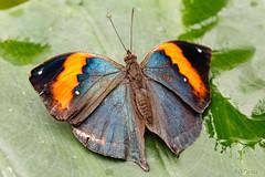 Schmetterling 53 (rgr_944) Tags: macro butterfly tiere natur pflanzen blumen papillon insekten schmetterlinge