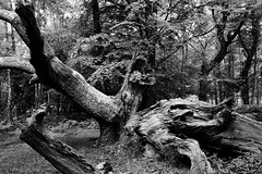 Gnarly! (Simon Taylor Local Photographic) Tags: uk tree nature forest outdoors hampshire fallen newforest