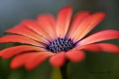 5-21-15 243 Daisy Macro (KatieKal) Tags: blue orange macro daisy canonmacrolens 52115 canon60d