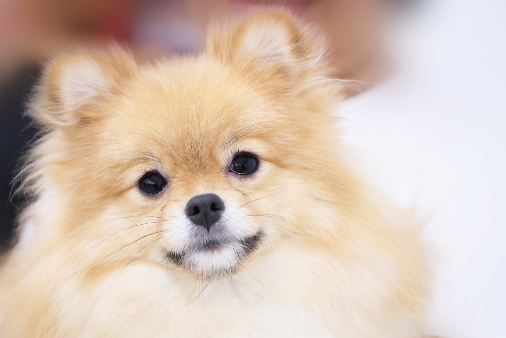 pomeranian teeth the world s best photos of pomeranian and teeth flickr 8358