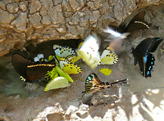 Drinking Butterflies : 3 Van Someren's Green-banded Swallowtails (Papilio interjectana), 1 Small Striped Swordtail (Graphium policenes) and Pieridae