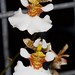 Tol. variegata – Nico Goosens