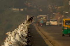 A bridge on the river Mahi (Santanu Sen) Tags: india seagull gull gujarat mahi incredibleindia brownheadedgull
