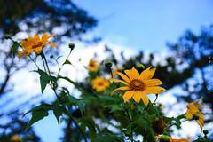 Morning in the highlands (talaan) Tags: morning flowers winter wild plants macro landscape outdoor da sunflower wildflowers dalat lat flowersplants annguyen wildsunflower 500px ifttt