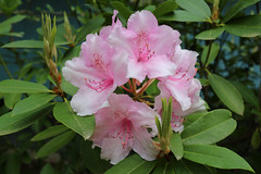 IMG_3054.JPG (robert.messinger) Tags: flowers rhodies