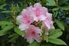 IMG_3054.JPG (robert.messinger) Tags: flowers rhodies