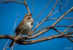 Bruant Chanteur / Song Sparrow / melospiza melodia (www.yravaryphotoart.com) Tags: bird animal canon pssaro aves pajaro animalplanet oiseau passaro vogel pjaro songsparrow bruantchanteur canoneos7d canonef70200mmf28lisiiusm yravary yravaryphotoart