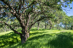 Forest - Rolling Hills Open Space Park - Solano County - California - 26 March 2016 (goatlockerguns) Tags: california park county usa mountains west tree nature oak open natural space unitedstatesofamerica vacaville hills trail bayarea eastbay solano rolling fairfield vaca