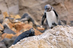 """Move over Iggi - I'm coming down!"" (One more shot Rog) Tags: friends nature fauna penguin togetherness penguins rocks galapagos together iguana creatures pingu fernandina isabela marineiguana galapagospenguin galapagosislands fernandinaisland rogersargentwildlifephotography"