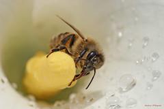 Bee (Darea62) Tags: flower rain insect wings calla bee droplet pollen