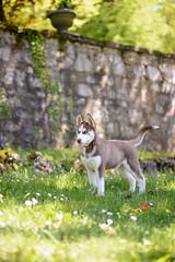 Myla. (Nicomonaco73) Tags: dog chien cute dogs nature les puppy 1 nikon husky lac 8 sigma du savoie parc chiot aix bains bourget 50100 d7100 tresserve