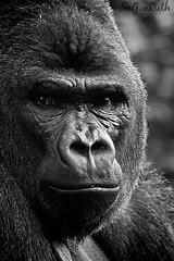 gorila (ruthgonzalez1) Tags: bw naturaleza nature animal animals gorilla gorila