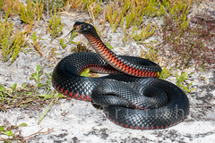 Red-bellied Black Snake 59 5583 (Ken Griffiths - Naturally wild Photography) Tags: dangerous reptile snake australia pseudechisporphyriacus redbelliedblacksnake elapid