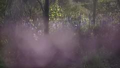 Hazy hyacinths (Franci Van der vyver (Carmen Tulum)) Tags: purple indian violet mauve hyacinth hyacinths camassia indianhyacinth camassiaesculenta