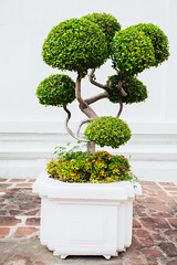 Bonsai tree in vase (PrgomeljaDusanAna) Tags: old plant detail tree green art nature beautiful beauty table japanese miniature moss natural artistic cut details small arts style cutting bonsai vase winding deciduous mossy planting potted fascinating potting planted