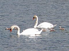 Brandon Marsh (amandabhslater) Tags: lake water birds swan naturereserve brandonmarsh