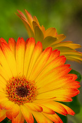 Gerbera Daisy Gold (RWShea Photography) Tags: flowers helicon