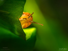 "Say: ""Hello !!!"" (diegogm.es) Tags: espaa naturaleza macro nature snail asturias olympus gijon caracol em1 gasteropodo 60macro"