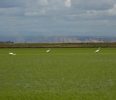 Rice, Egrets (Dan Brekke) Tags: california water rice farms sacramentovalley