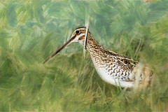 Common Snipe: Weed Creeper (Johnrw1491) Tags: life bird art nature animal digital photography notes artistic wildlife fine illustrations images marsh common habitat avian shorebirds interpretive snipe