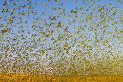IMG_0381.jpg (Paul Williams www.IronAmmonitePhotography.com) Tags: bird budgerigar summer murmuration dryseason melopsittacusundulatus australia