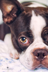 (Rebecca812) Tags: dog pet brown cute animal bostonterrier bed sweet innocent seal crop petportrait pleading animalthemes