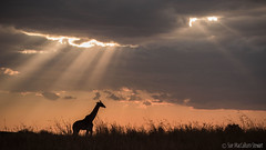 Early evening in the Mara (Sue MacCallum-Stewart) Tags: giraffe nature wildlife maasaimara kenya africa
