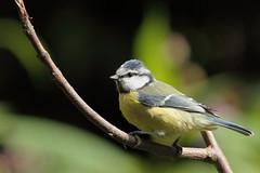 Bluetit (david.england18) Tags: bluetit smallbirds various tits blue coal great queensparkheywood canon7d canonef300mmf4lisusm birdsuk