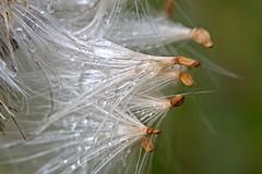 Distel nach dem Regen 3 (DianaFE) Tags: dianafe blume blüte wildkraut wiesenblume tropfen regen makro tiefenschärfe schärfentiefe